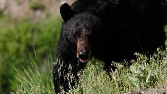 بالفيديو..شاهد ماذا فعل الدب الأسود بعدد من السيارات للحصول على الطعام !
